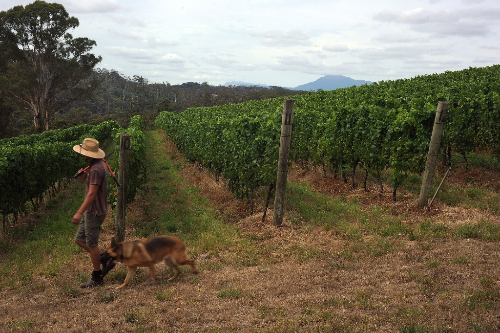 Vaughan Rufus Sinapius Vineyard 3